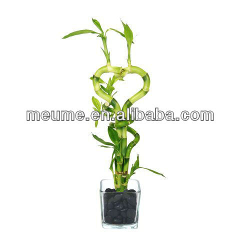 Lucky bamboo dracaena sanderiana - - feng shui usine Fabrication Les fabricants, fournisseurs, exportateurs, grossistes